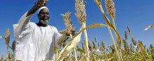توفیر الغذاء بشکل مستدام للبشریة أمر ممکن، حسب المجلس الاستشاری العلمی للأمین العام للأمم المتحدة - focus_farmer_sorgum_sudan_un_photo-fred-noy_dpl